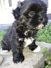 Shih Tzu Puppy For Sale in HOWARD, OH, USA