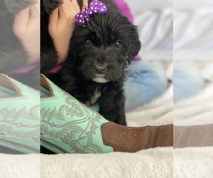Aussiedoodle-Bernedoodle Mix Puppy for Sale in BOISE, Idaho USA