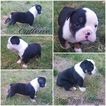 Olde English Bulldogge Puppy For Sale in OLALLA, WA,