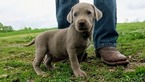 Labrador Retriever Puppy For Sale in MONROE, Georgia,