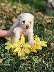 Maltipoo-Yorkiepoo Mix Puppy for sale in WHITTIER, CA, USA