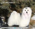 Small #7 Maltese
