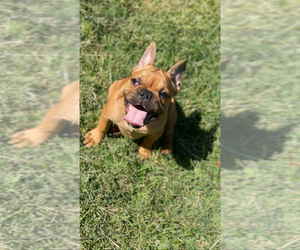 French Bulldog Puppy for Sale in STKN, California USA