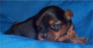 Yorkshire Terrier Puppy For Sale in OCEAN VIEW, DE