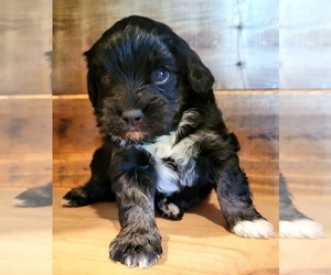 Cavapoo Puppy for sale in PINK HILL, NC, USA