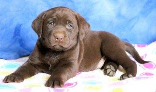 Labrador Retriever Puppy For Sale in MOUNT JOY, PA, USA