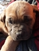 Cane Corso Puppy For Sale in REDKEY, IN, USA