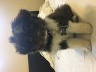 Miniature Australian Shepherd Puppy For Sale in RANCHO CORDOVA, CA, USA