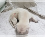 Small #73 Labrador Retriever