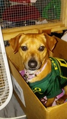 Chiweenie Dog For Adoption in VANCOUVER, WA, USA
