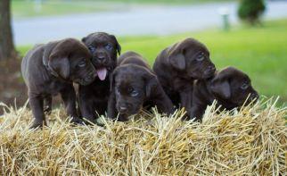 Labrador Retriever Puppy For Sale in ATLANTA, GA