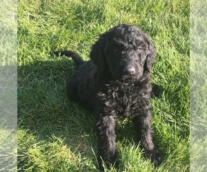 Labloodhound-Labradoodle Mix Puppy for Sale in MEINERS OAKS, California USA