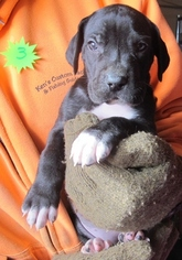 Great Dane Puppy For Sale in RENO, NV, USA