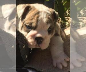 English Bulldog Puppy for sale in LAS VEGAS, NV, USA