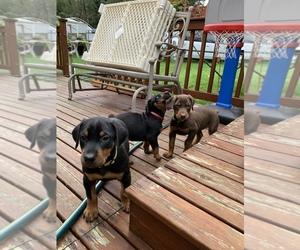 Doberman Pinscher Puppy for sale in AUBURN, WA, USA