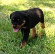 Rottweiler Puppy For Sale in VONORE, Tennessee,