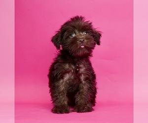 Schnauzer (Miniature) Puppy for sale in WARSAW, IN, USA