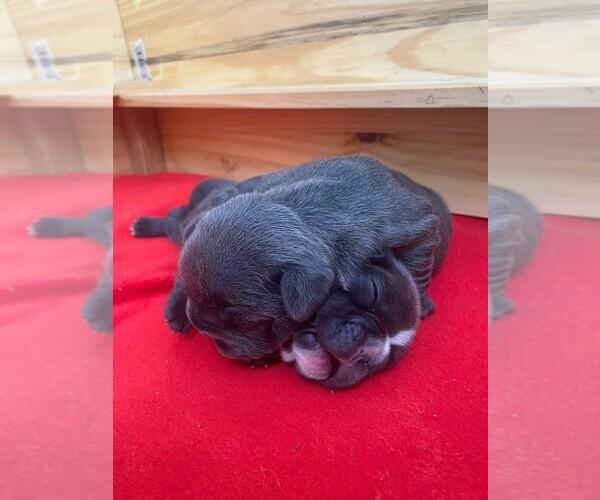 Medium Photo #4 French Bulldog Puppy For Sale in TAMPA, FL, USA