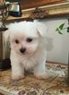 Maltese Puppy For Sale in FULLERTON, CA, USA