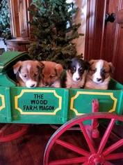 Border Collie Puppy For Sale in PARIS, IL, USA