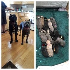 Cane Corso Puppy For Sale in FAIRFIELD, CA