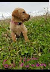 Labrador Retriever Puppy For Sale in DANBURY, TX, USA
