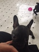 French Bulldog Puppy For Sale in MILTON, FL