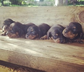 View Ad Dachshund Litter Of Puppies For Sale Near Oregon Eugene