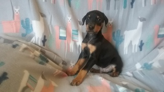Doberman Pinscher Puppy For Sale in NAPOLEON, OH, USA