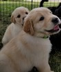 Golden Retriever Puppy For Sale in WICHITA, KS, USA
