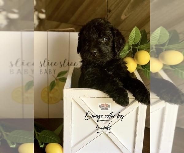 Medium Photo #13 Labradoodle Puppy For Sale in PAW PAW, MI, USA