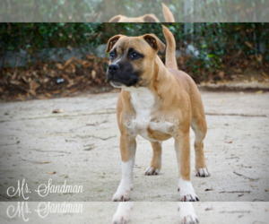 Staffordshire Bull Terrier Puppy for sale in HOUSTON, TX, USA