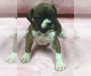 Boxer Puppy For Sale in COATSVILLE, MO, USA