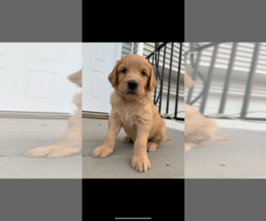 Goldendoodle Puppy for Sale in RATHDRUM, Idaho USA