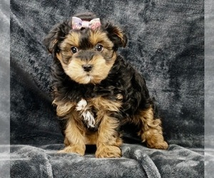 Poodle (Toy)-Yorkshire Terrier Mix Puppy for Sale in WARSAW, Indiana USA