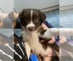 Puppy 5 Australian Shepherd-Border-Aussie Mix