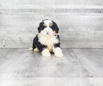 Bernese Mountain Dog-Poodle (Toy) Mix Puppy For Sale in CLEVELAND, NC, USA