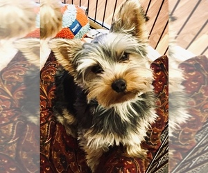 Yorkshire Terrier Puppy for sale in BRIDGEPORT, NE, USA