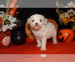 Small #20 Poodle (Toy)