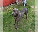 Small Photo #1 Cane Corso Puppy For Sale in FORKSVILLE, PA, USA