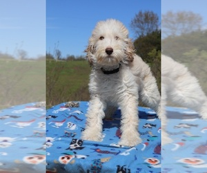 Goldendoodle Dog for Adoption in UNION CITY, Tennessee USA