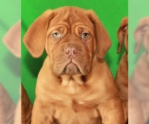 Mastiff Puppy for Sale in SHAWNEE, Oklahoma USA