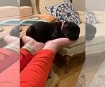 Small #9 Labrador Retriever