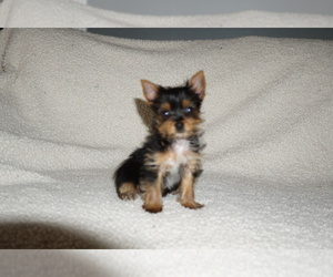 Yorkshire Terrier Puppy for Sale in DUNDEE, Ohio USA
