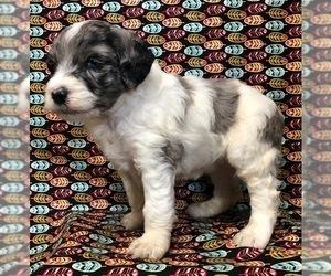 Aussie-Poo Puppy for Sale in NUNN, Colorado USA