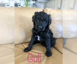 Bernedoodle Puppy for sale in HUBERT, NC, USA