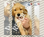 Small Photo #13 Golden Retriever Puppy For Sale in TEMPLE, TX, USA