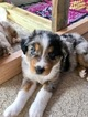 Australian Shepherd Puppy For Sale in JUPITER, FL