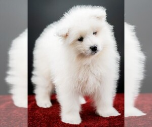 Samoyed Puppy for sale in CLEBURNE, TX, USA