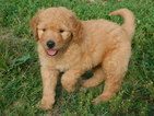 Goldendoodle Puppy For Sale in ODON, Indiana,